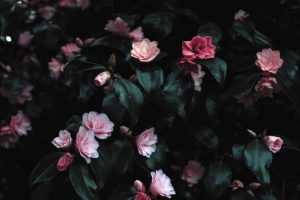 pink-flowers-photograph-1083822