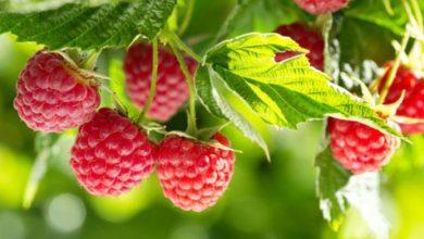 Photo of ZEKAT NA MALINE (voće i povrće uopćeno) I ZEKAT POLJOPRIVREDNIH I VOĆARSKIH PROIZVOĐAČA